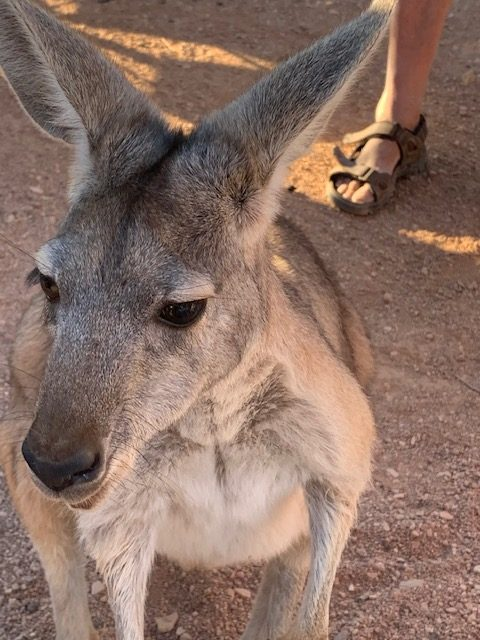 Maggie the kangaroo