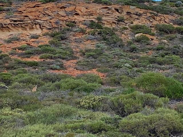 Kangaroos in the bush